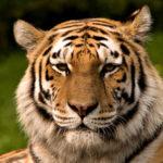 Siberischer_tiger_de_edit02
