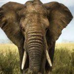 _102952734_elefante